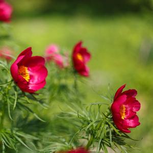 В Ботаническом саду расцвел прообраз аленького цветочка из сказки Сергея Аксакова