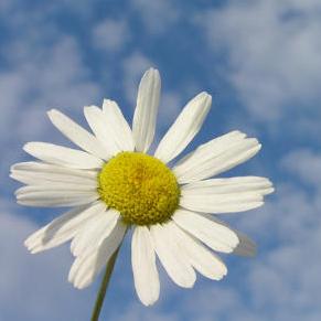 26 марта в СГАУ пройдёт акция «Белая ромашка»