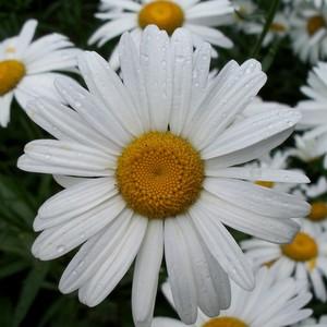 В СГАУ состоялась акция «Белая ромашка»